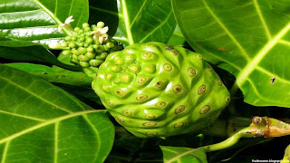 morinda fruit images wallpaper