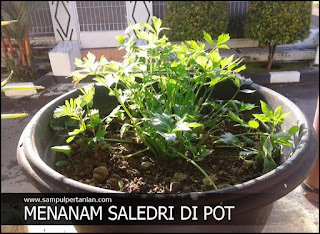 Cara menanam Seledri di Pot atau Polybag dengan mudah
