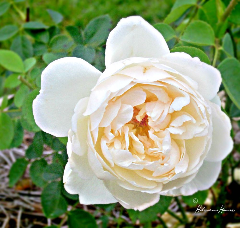 I Purchased Four Very Beautiful English Roses Called Glamis Castle From Heirloom In 2015 Really Like The Own Root And Think This One Will Be