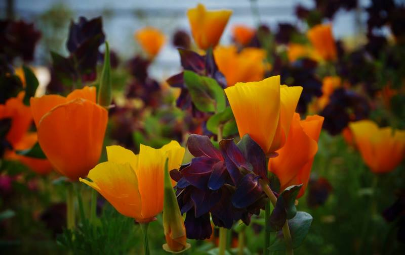 amapola de california en Jardín Botánico Marimurtra de la Costa Brava