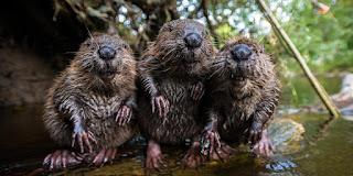 https://www.google.ca/search?q=beavers&source=lnms&tbm=isch&sa=X&ved=0ahUKEwiIguboxMnUAhUG4GMKHWopD6gQ_AUICigB&biw=1440&bih=770#imgrc=7bewxPNZeVjWcM: