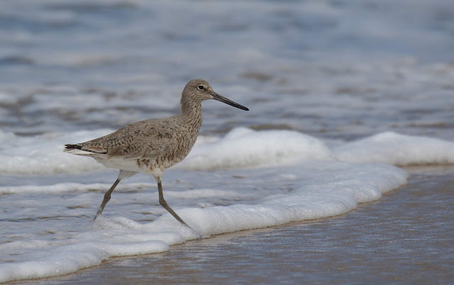 Willet wading in the surf