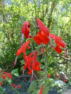 Salvia coccinea - Sauge écarlate