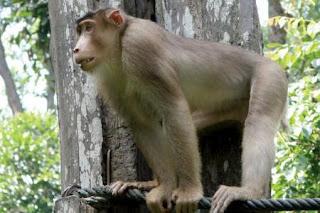 16 Fakta dan Informasi Menarik Tentang Beruk, Monyet dengan Ekor Babi