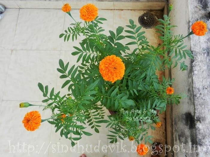 Orange Marigold Flowers in my garden.