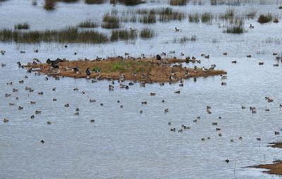 Aves buscando alimento en las marismas