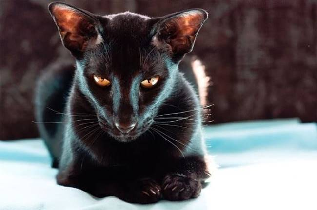 """Calling some breeds of cats """"evil"""" is not entirely correct. Here the word """"independent"""" is more appropriate. They believe that all attention in the house should be directed to them. Such cats can be called the owners of their owners. Below is the top 10 most evil cats and be careful with these cats."""