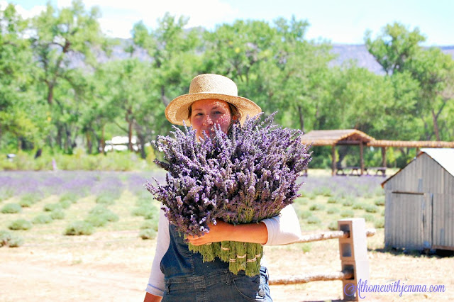 lavender, harvesting, New Mexico