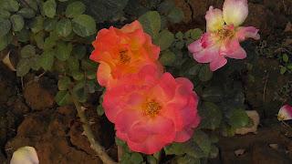 Rose Flower in National Rose Garden Delhi 2071