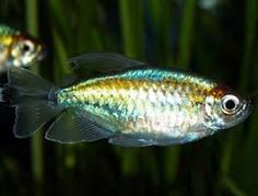Jenis Ikan Hias Air Tawar Congo Tetra