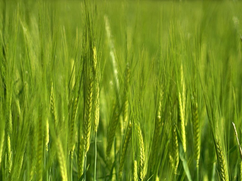 #063 Leitz Wetzlar ELMARON f2.8 100mm – Xiaoyi YI-M1 – Getreide