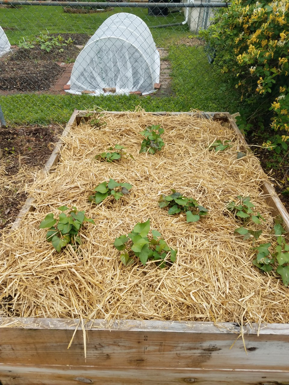 Tip Garden Growing Sweet Potatoes In A Raised Bed