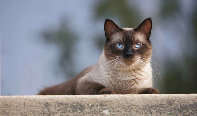 Siamese - Most Beautiful Cats
