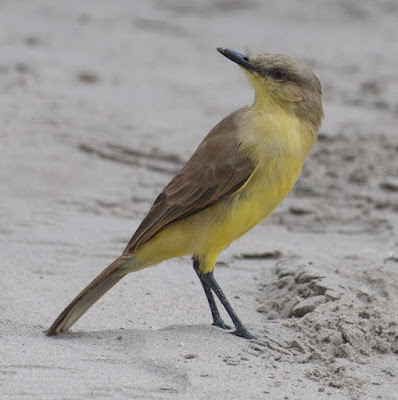 Cattle Tyrant (Machetornis rixosus)