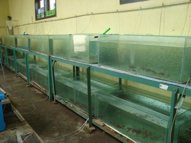 Syarat Pembenihan Ikan Patin - Water Turn