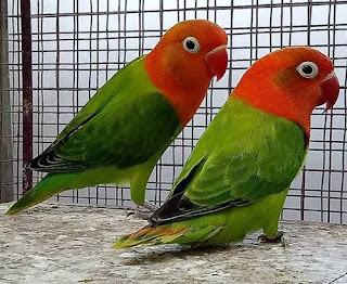 lovebird biola green