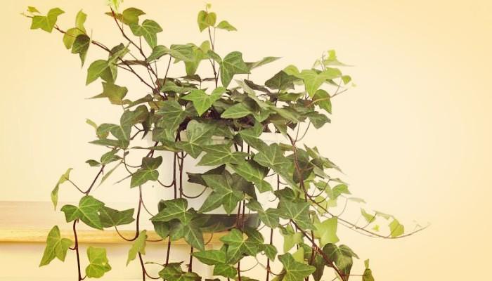 Verbena plantas