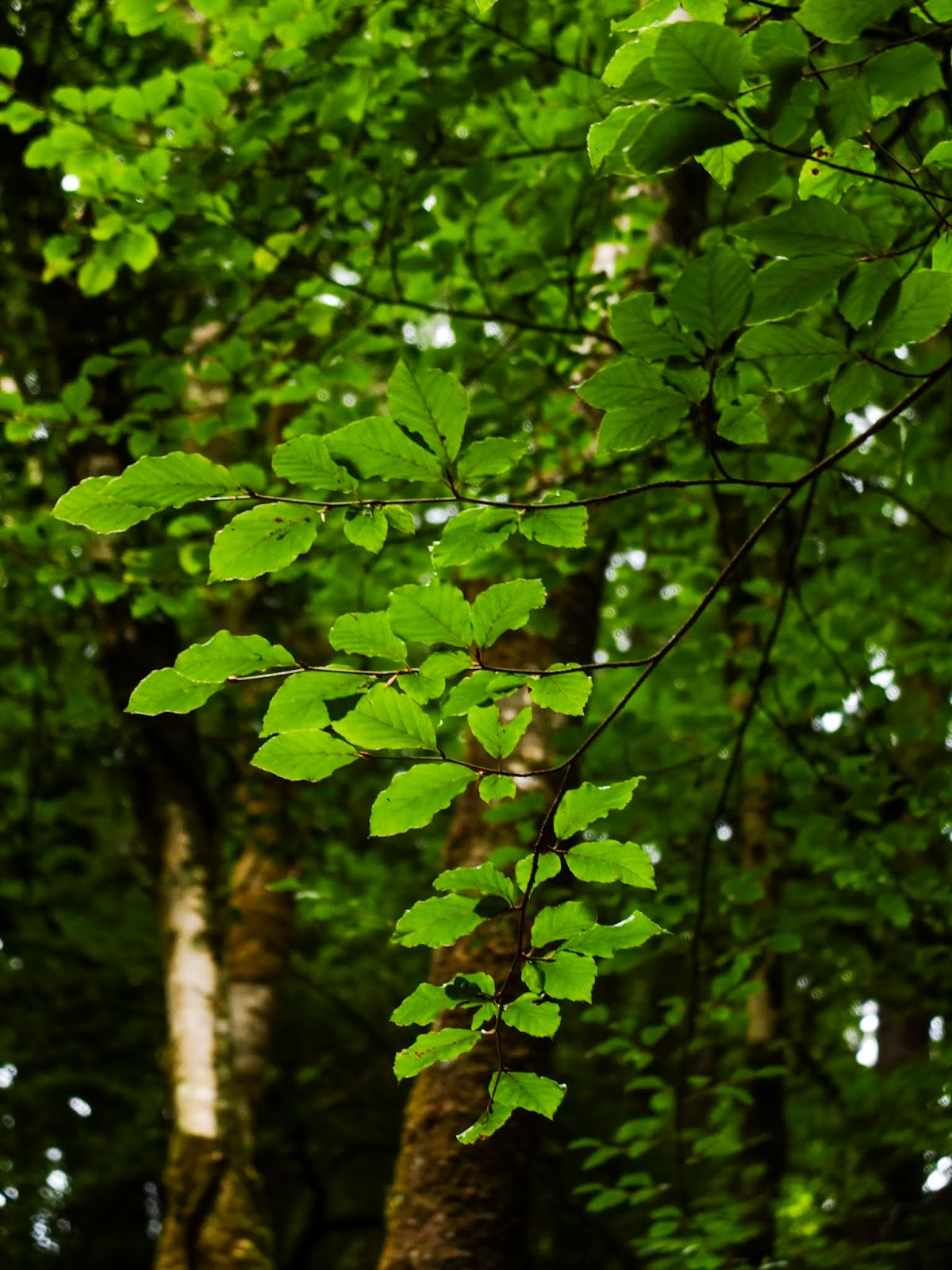 Green leaves on tree branches in a forest.