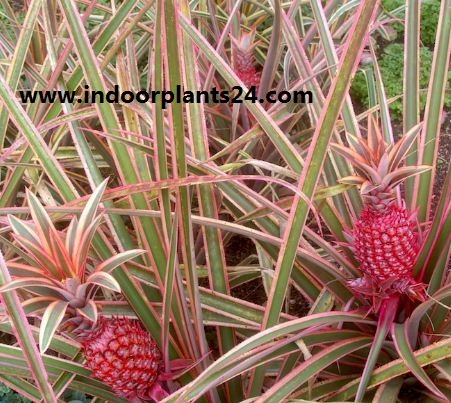 Pina roja/Red Pineapple/Ananas bracteatus  Zoom's Edible indoor plant