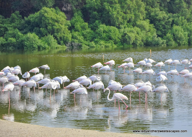 flamingos in Ras Al Khor Wildlife Sanctuary