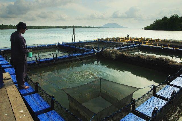 Budidaya Ikan Lencam