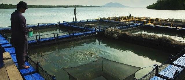 Budidaya Ikan Lencam atau Kerapu di Kolam Tambak Air Tawar