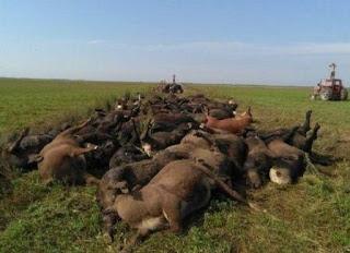 Más de 200 vacas murieron infartadas por el calor