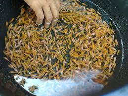 Ciri Benih Ikan Baik dan Berkualitas