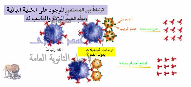 تركيب الجهاز المناعى فى الإنسان - الأجسام المضادة - متخصصة