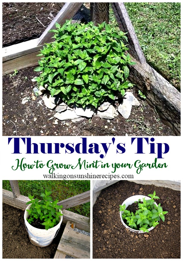 How to Grow Mint in your Garden - Thursday's Tip from Walking on Sunshine Recipes