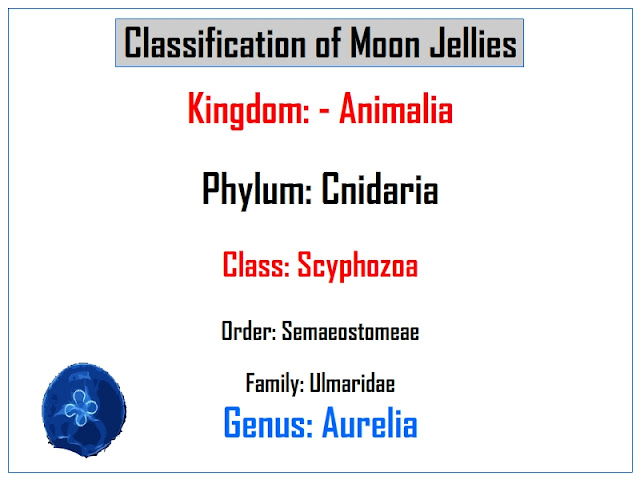classification of moon jellies