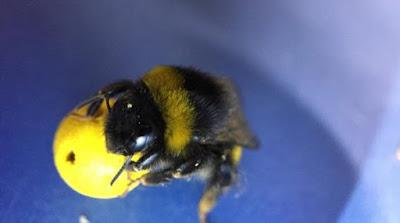 Επιστήμονες έμαθαν σε μέλισσες να παίζουν ποδόσφαιρο και να βάζουν γκολ!