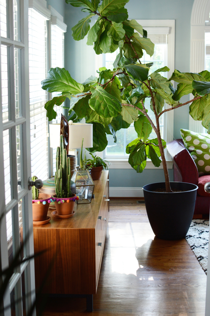 The most beautiful fiddle leaf fig in all the land- design addict mom