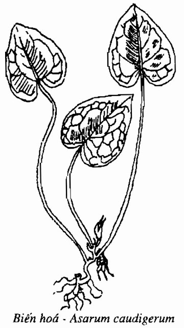 Hình vẽ cây BIẾNHOÁ - Asarum caudigerum - Nguyên liệu làm thuốc Chữa Ho Hen