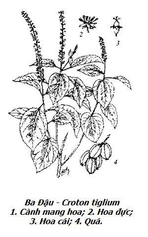 Hình vẽ Ba Đậu - Croton tiglium - Nguyên liệu làm thuốc Nhuận Tràng và Tẩy