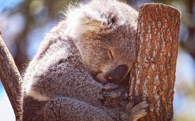Vì sao con Koala có thể ngủ 22 tiếng đồng hồ mỗi ngày