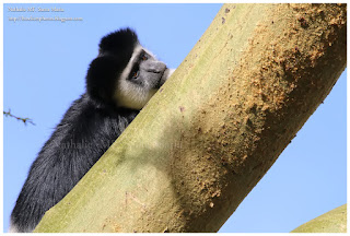 https://bioclicetphotos.blogspot.fr/search/label/Colobe%20gu%C3%A9r%C3%A9za%20-%20Colobus%20guereza