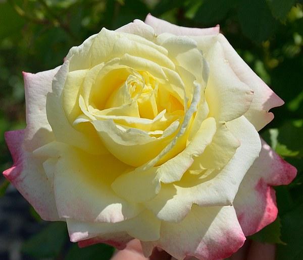 Athena сорт розы фото