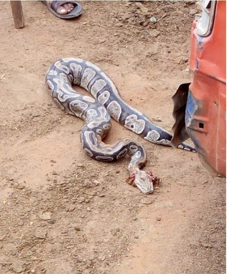 Unbelievable!!! Mysterious Python Snake Killed in a Man's Car in Benin (Photos)