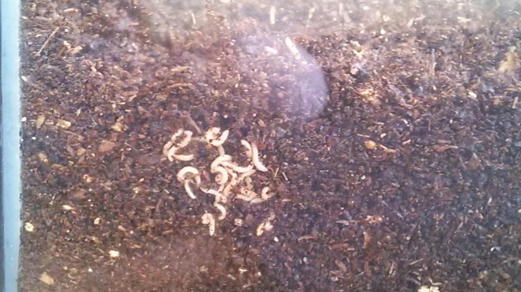 カブトムシの幼虫が出てくる