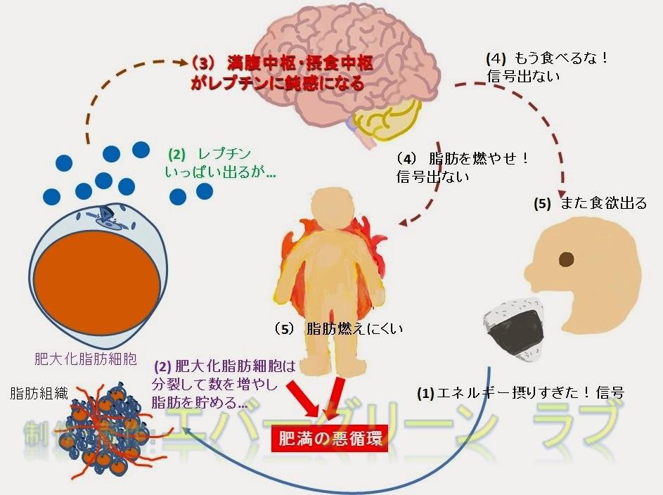 遺伝子 快感 報酬系 ダイエット 痩せない 内臓脂肪 食欲 コントロール 満腹中枢 摂食中枢 脂肪を燃やす 成熟細胞 太る 体質 カロリー レプチン アディポネクチン レプチン アディポネクチン 脂肪細胞 脂肪燃焼 摂食中枢 満腹中枢 肥満 痩せホルモン イラスト おにぎり 脂肪が燃える エネルギー摂りすぎ おなかいっぱい