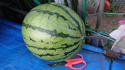 無農薬有機栽培の大玉スイカ。これが最大サイズ。