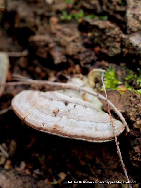grzyb nadrzewny, hubiak, grzyby nadrzewne, atlas grzybow, grzyby gatunkami, gatunek, jaki to grzyb, las bemowski, wiosna, mykologia, grzybobranie