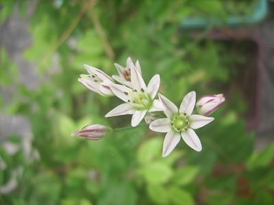 Flores-brancas-com-lilás