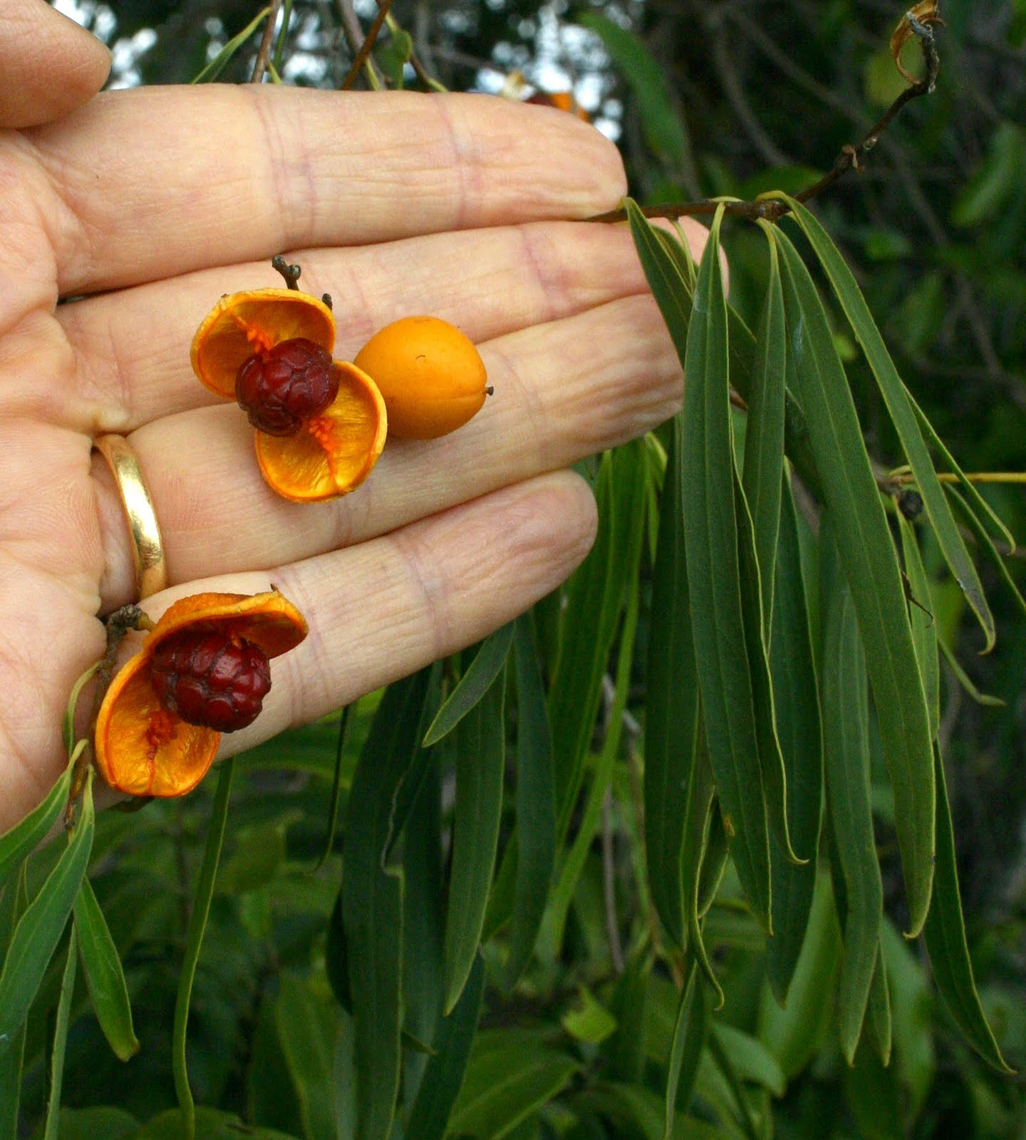 458fc6872 They split to reveal seeds which are covered with sticky red arils