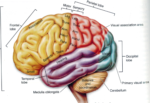 Science For All: MAJOR FUNCTIONAL REGIONS OF HUMAN BRAIN