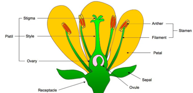 Yesha @ Saint Patrick's School: Parts of Flowers and their ...