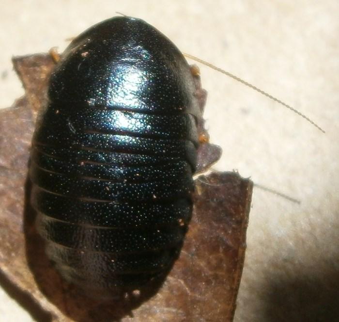 C.pygm%252326.JPG