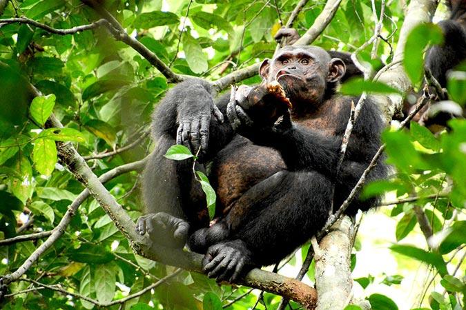 Dlium Wild chimpanzees (Pan troglodytes troglodytes) exploit tortoises (Kinixys erosa) via percussive technology