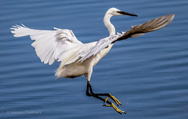 Dancing Egret - Diep River Milnerton / Across from the Milnerton Golf Course, Cape Town